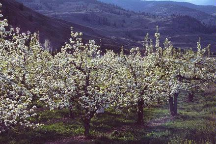 AppleTrees2