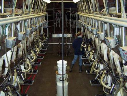 Bailey milking 2 Jan 2008