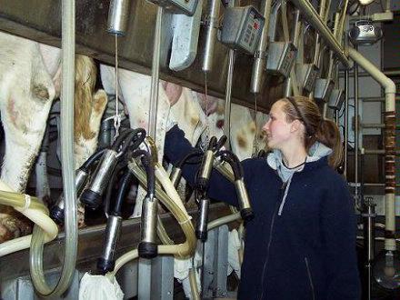 Bailey milking Jan 2008