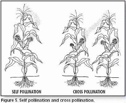 BreedingCorn Fig 5