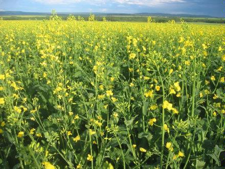 Canola starting to flower