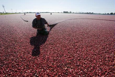 Cranberry Harvest   booming