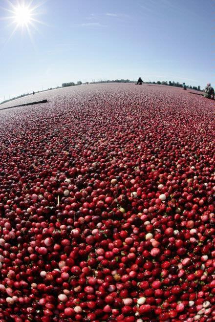 Cranberry Harvest   bounty