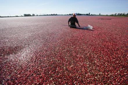 Cranberry Harvest   pushing