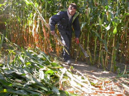 Harvesting Corn   James