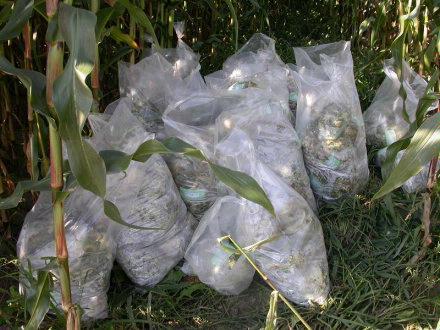 Harvesting Corn   Samples in the shade