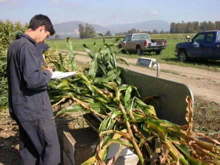 Harvesting Corn   brian weighing