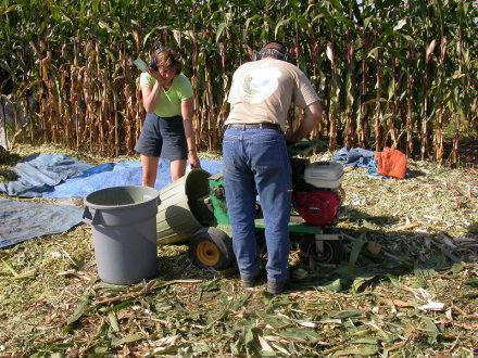Harvesting Corn   chopping