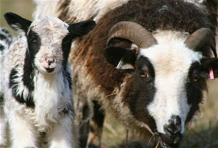 Jacob ewe &lamb ST2011