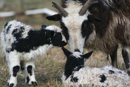 Jacob ewe &lambs ST2011