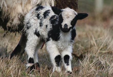 Jacob lamb ST2011