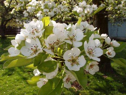 Pear blossoms 3