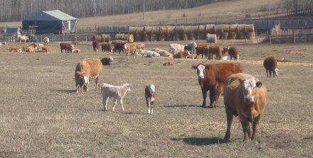 Spring calves   2005