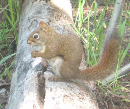 Squirrel   20051