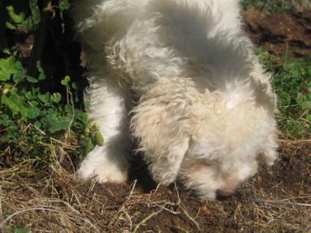 Truffle dog in training 3