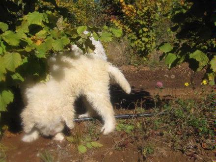 Truffle dog in training2