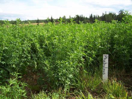 alfalfa plots2 Fort Fraser