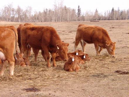 cow &calves1