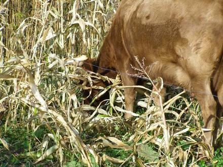 cow pasture1