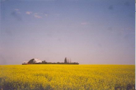 farmhouse in canola