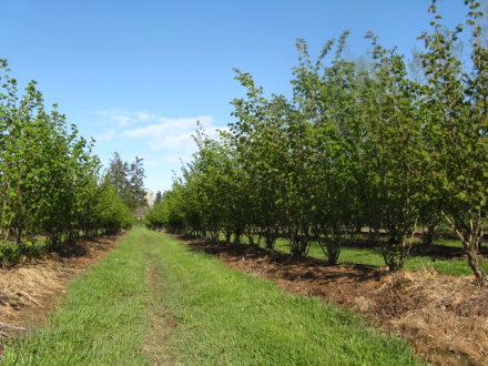 hazelnut plantation 2