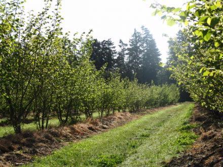hazelnut plantation