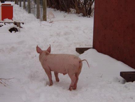 piglet in snow