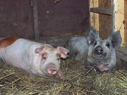pigs in straw June 2007