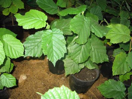 seedling trees innoculated with truffle