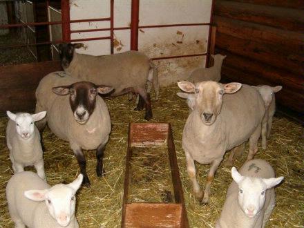 sheep May 2004