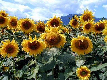 sunflower1sized