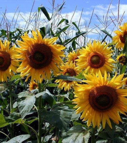 sunflower2sized