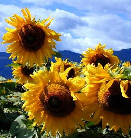 sunflower3sized