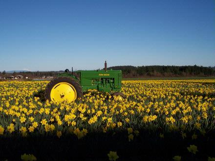 tractordaffodil
