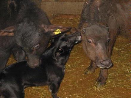 water buffalo calves and dog